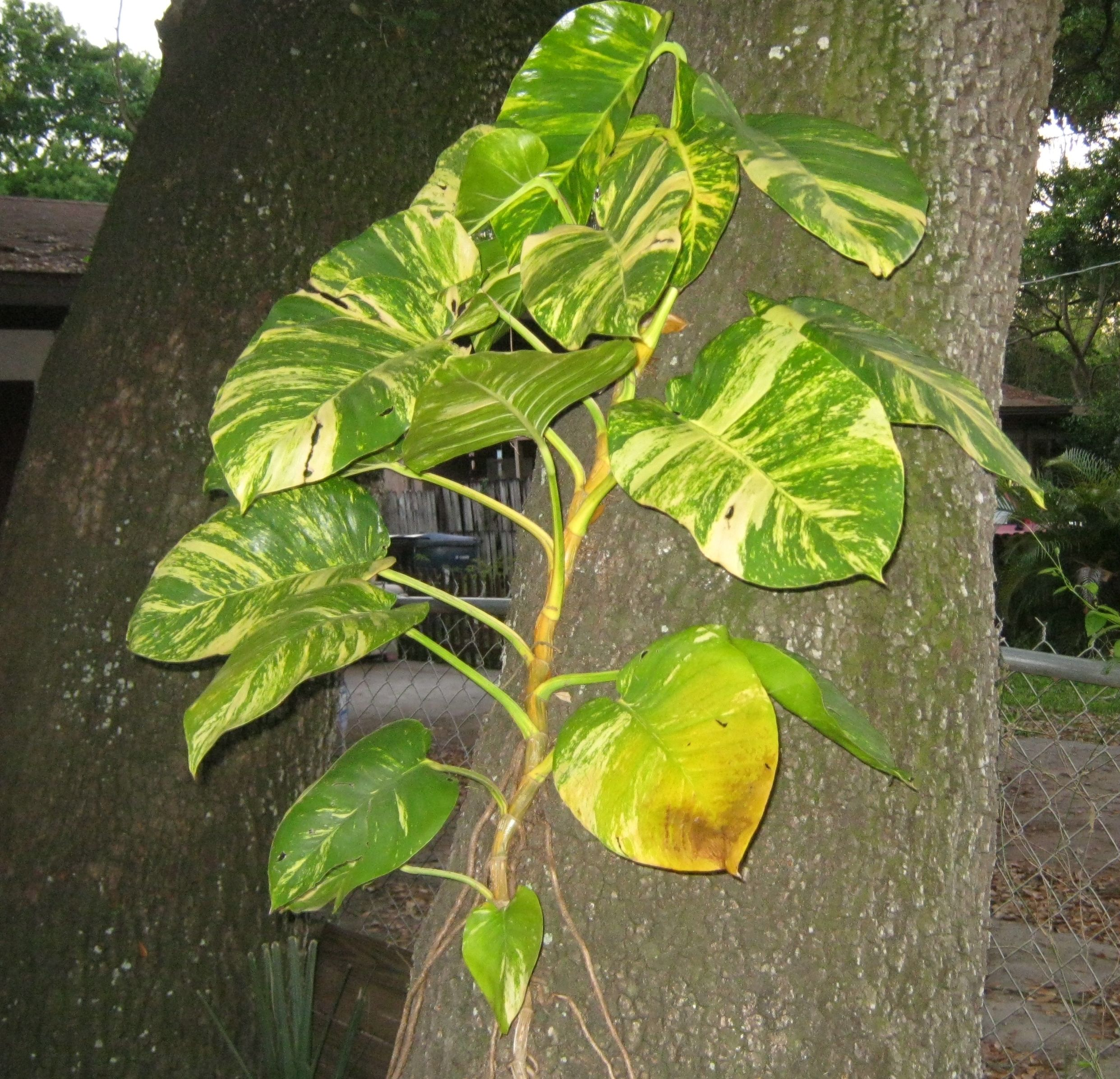 giant golden pothos vine large tropical leaf vine