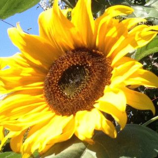 How To Grow Giant Sunflowers With Images Giant Sunflower Garden Remedies Starting A Garden