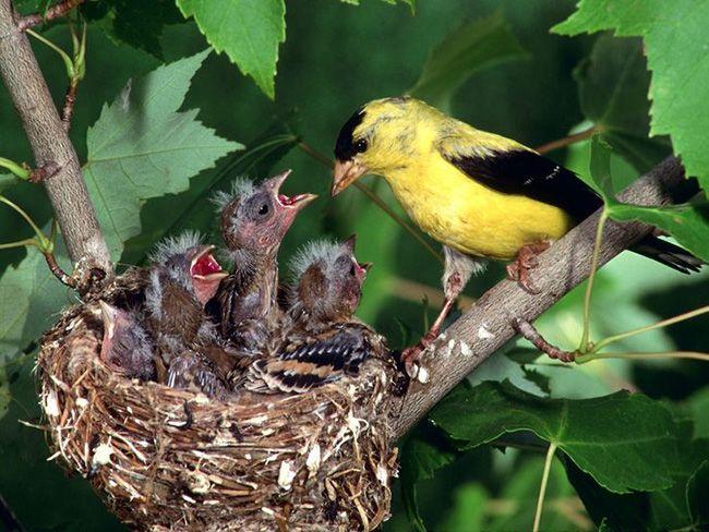 20 Bird Mothers Taking Care Of Their Babies In Astounding Ways Inspiremore Beautiful Bird Wallpaper Goldfinch American Goldfinch Bird nest wallpaper hd