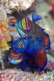 Rainbow Mandarin Fish Ocean Creatures Animals Beautiful