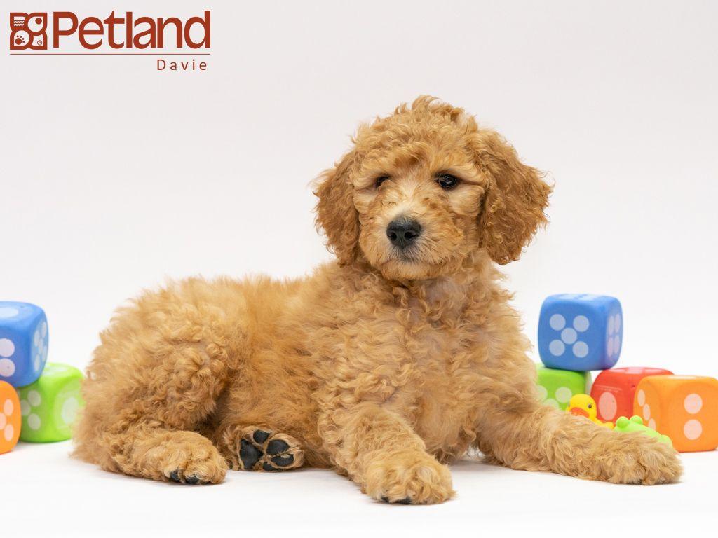 Petland Florida has Goldendoodle puppies for sale