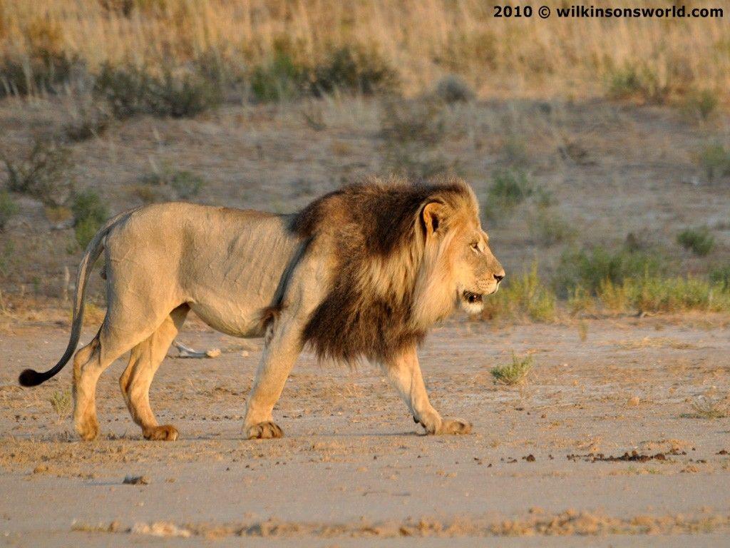Young Male Moertoe Felt Pinterest Lions And Animal