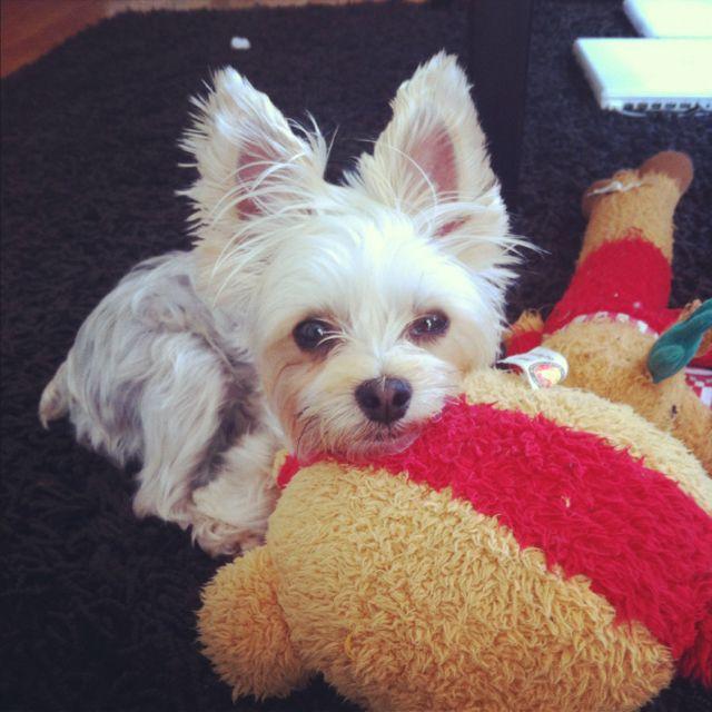 My Morkie Nami Morkie Yorkie Doggy