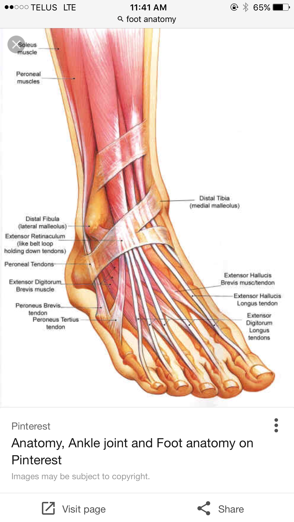 myndani ursta a fyrir latin words for nerves in feet anatomy [ 1242 x 2208 Pixel ]