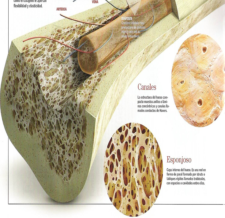 GENERALIDADES DE LOS HUESOS!   mirandafisioterapia   Osteologia ...