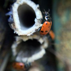 Sounds like the beginning of a joke, but it's not. An eccentric problem solver converted a birdhouse into a #ladybug #habitat after finding a pile of frozen ladybugs. Then, he invited a zillion ladybugs over.   Check out #TheLadyBugHotel, located in Oakland. A site to behold and the amenities are awesome.   http://www.ladybughotel.com/