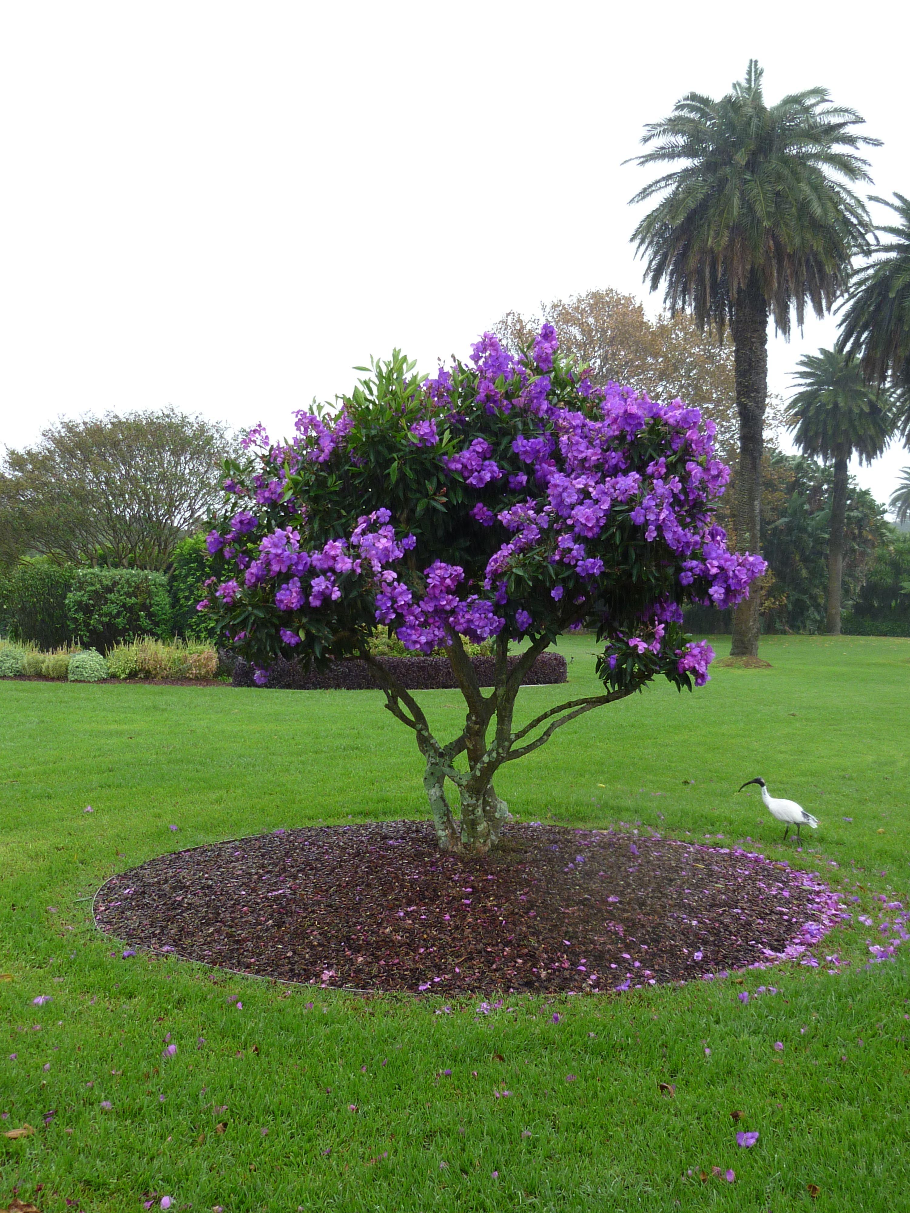Tibouchina \'Alstonville\' | Garden | Pinterest