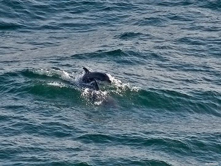 Dolphins near to Kaliakra