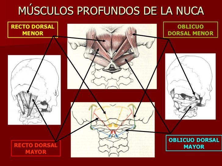 MÚSCULOS PROFUNDOS DE LA NUCA RECTO DORSAL MENOR RECTO DORSAL MAYOR ...
