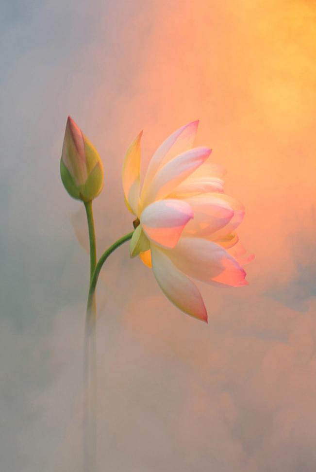 出淤泥而不染 Flower Lotus Flowers Flower Art