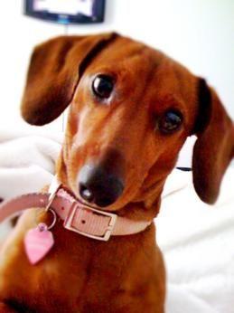 Dachshund Dachshund Dog Dog Breed Info Dachshund