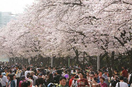Hangang Yeouido Spring Flower Festival Cherry Blossom Festival Festivals In China Flower Festival
