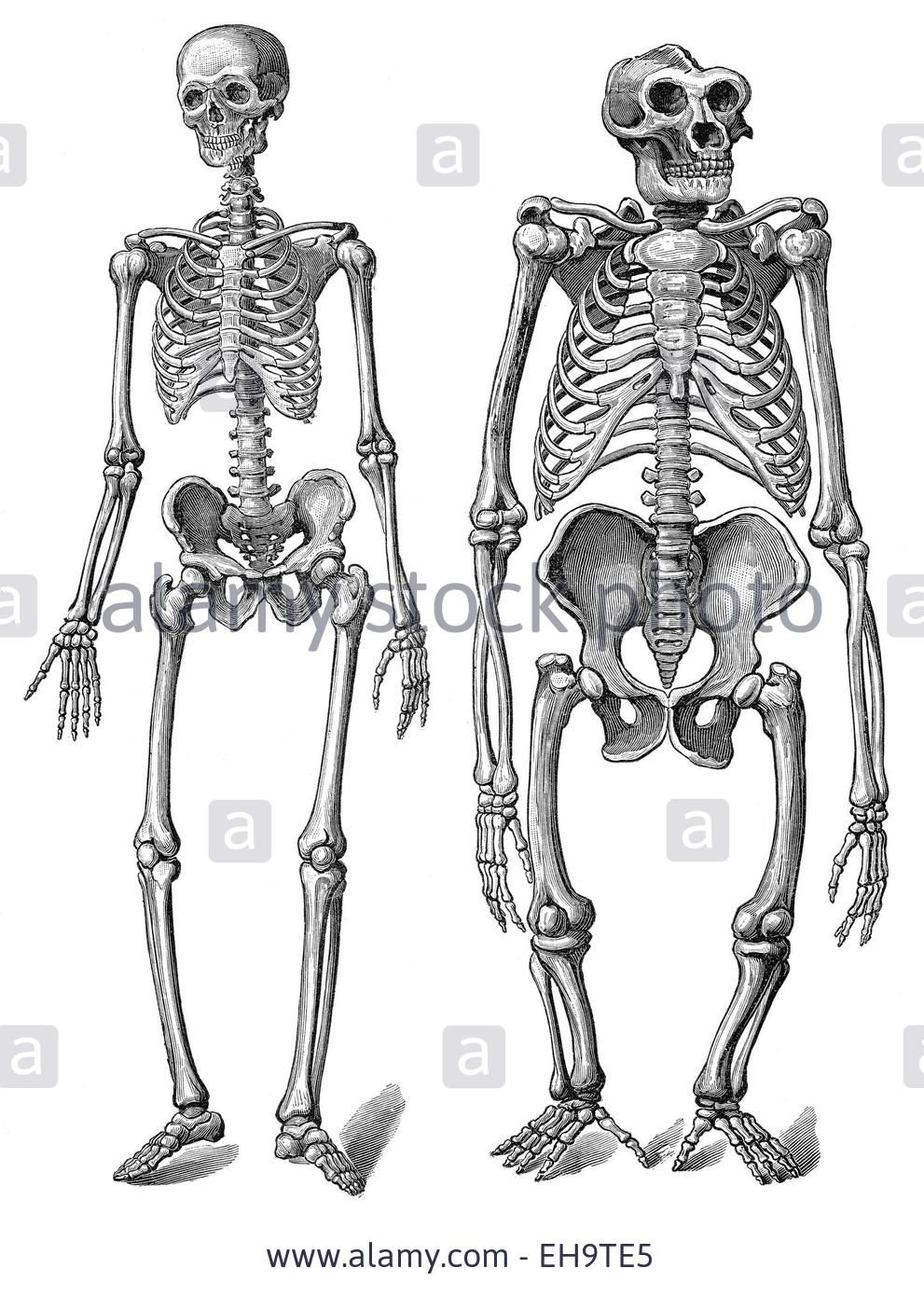 The human skeleton as compared to a gorilla skeleton, anatomy ...