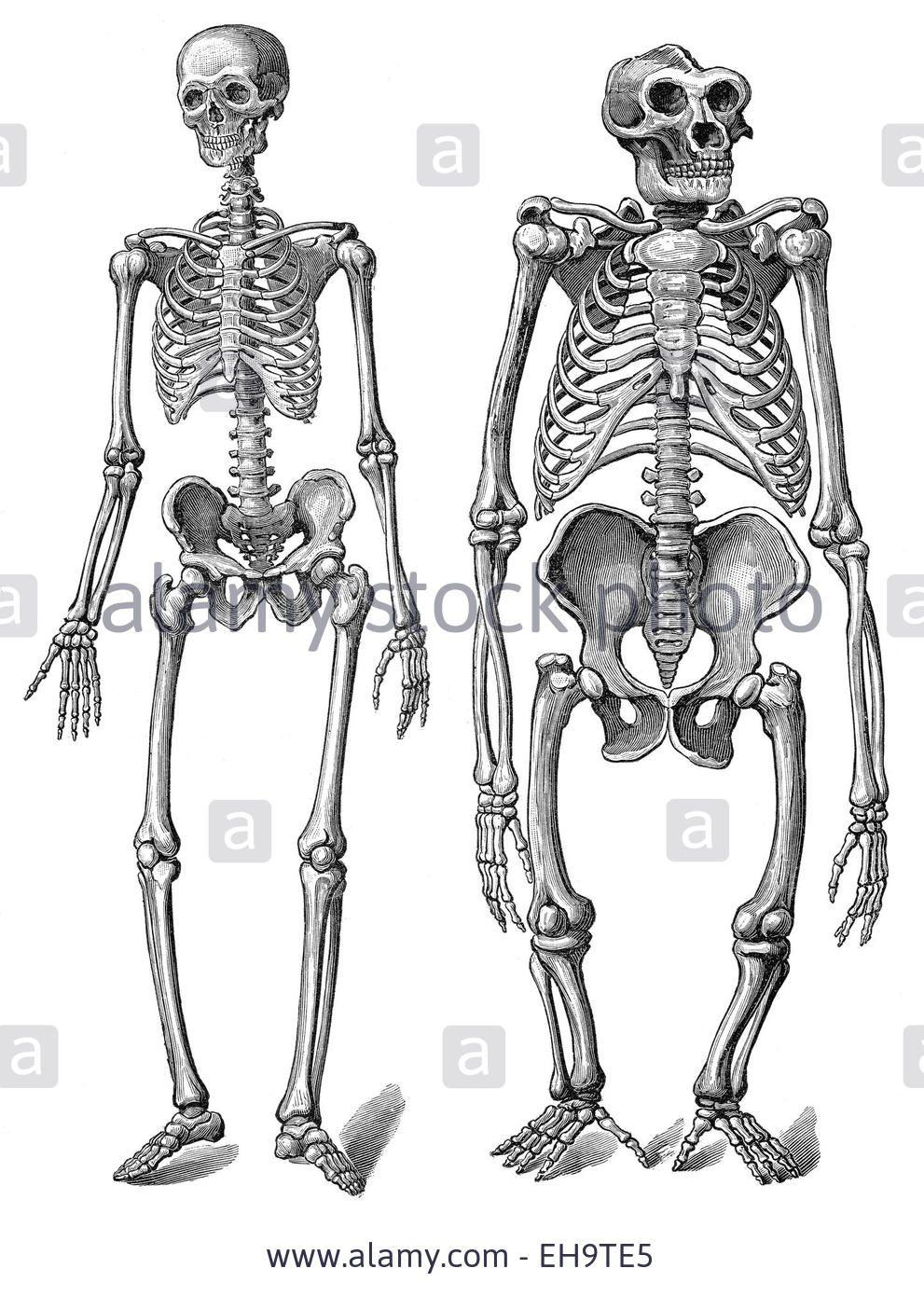 the human skeleton as compared to a gorilla skeleton, anatomy, Skeleton