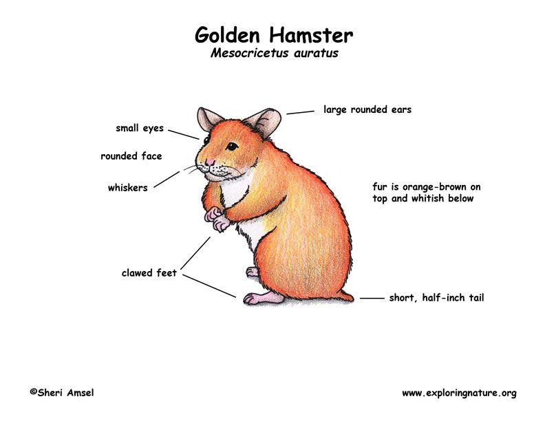 Hamster Parts For Kids Szukaj W Google Hamster Pet Health Pets