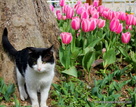 My Turkish Joys Tulip Time In Sultanahmet Photo Post Cats Turkey Tulips Cats White Cats