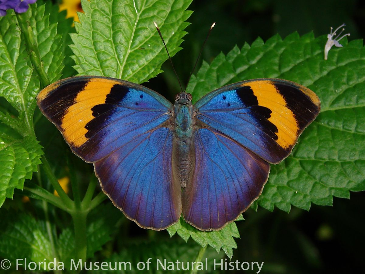 Gold-banded Forester - Euphaedra neophron
