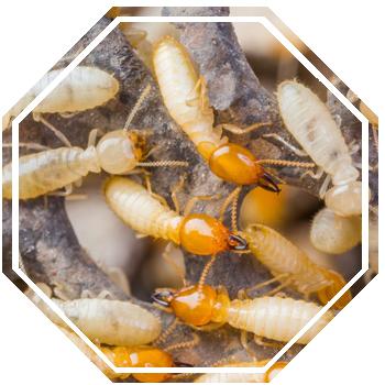 Termite Control Controlpest Managementgold Coast