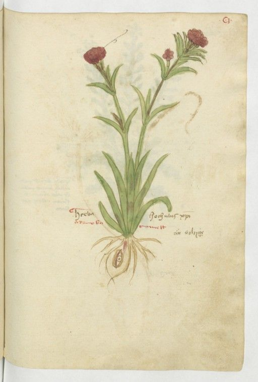 herba oculus domini? - anthropomorphic plant with eye-root - 210 : Latin 17844, fol. 101, Flore : aunée