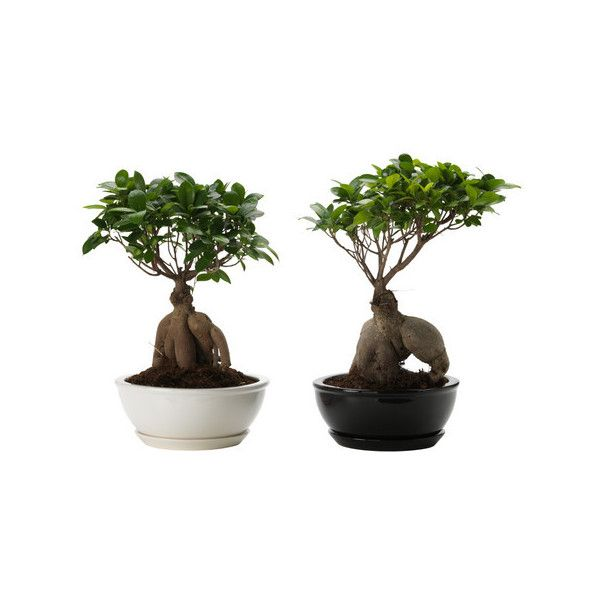 ikea ficus microcarpa ginseng 33 aud liked on polyvore featuring flowers harry potter plants. Black Bedroom Furniture Sets. Home Design Ideas