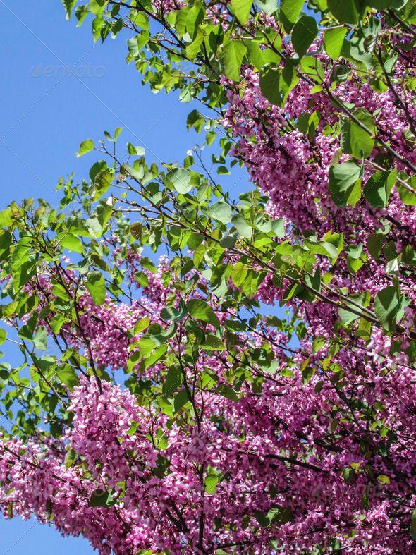 Acacia Tree With Pink Blossoms 4 Pink Blossom Acacia Tree Blossom