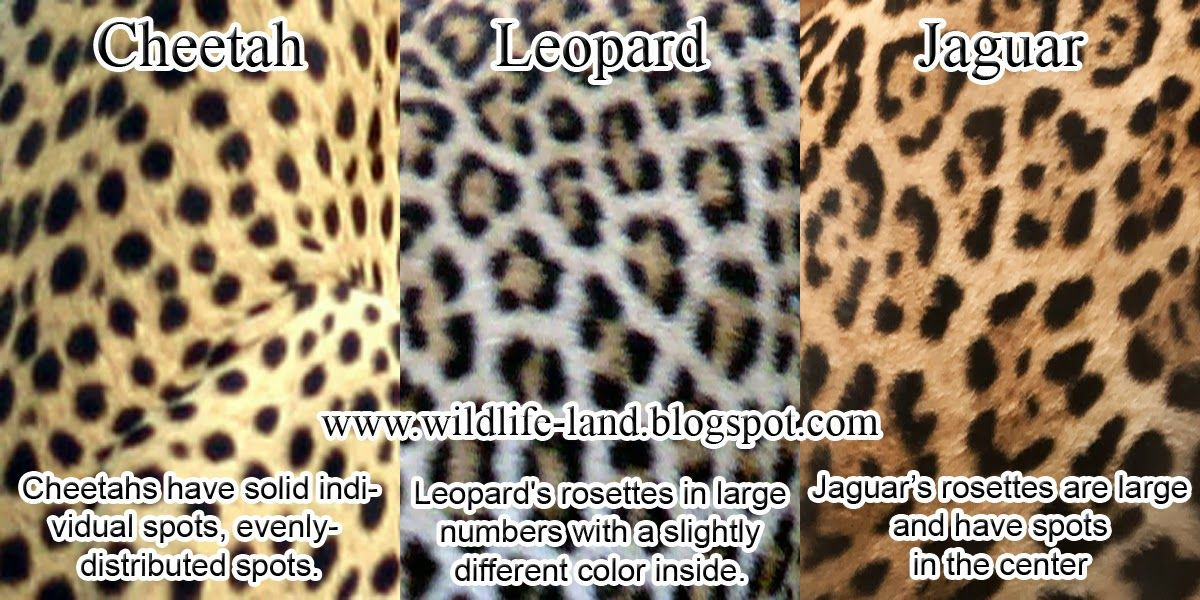 0f22870a99 I m obsessed with leopard print things. Some call it cheeta. I wanna slap  them. And people who say jaguar and leopard are the same.