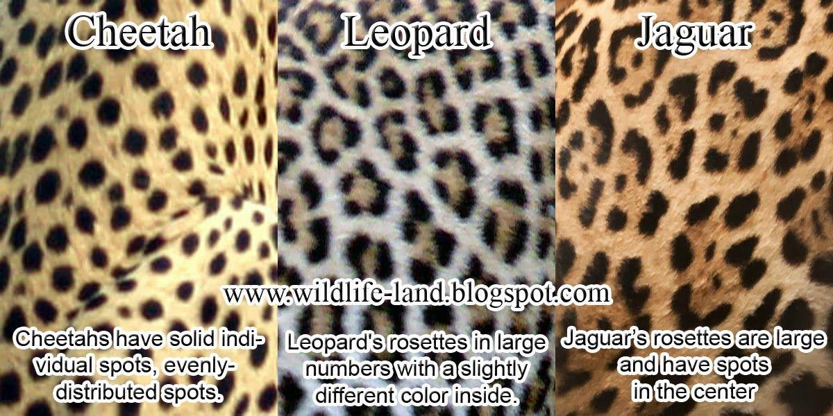 pinmiranda lee on graphic design & logos | big cats, cheetah