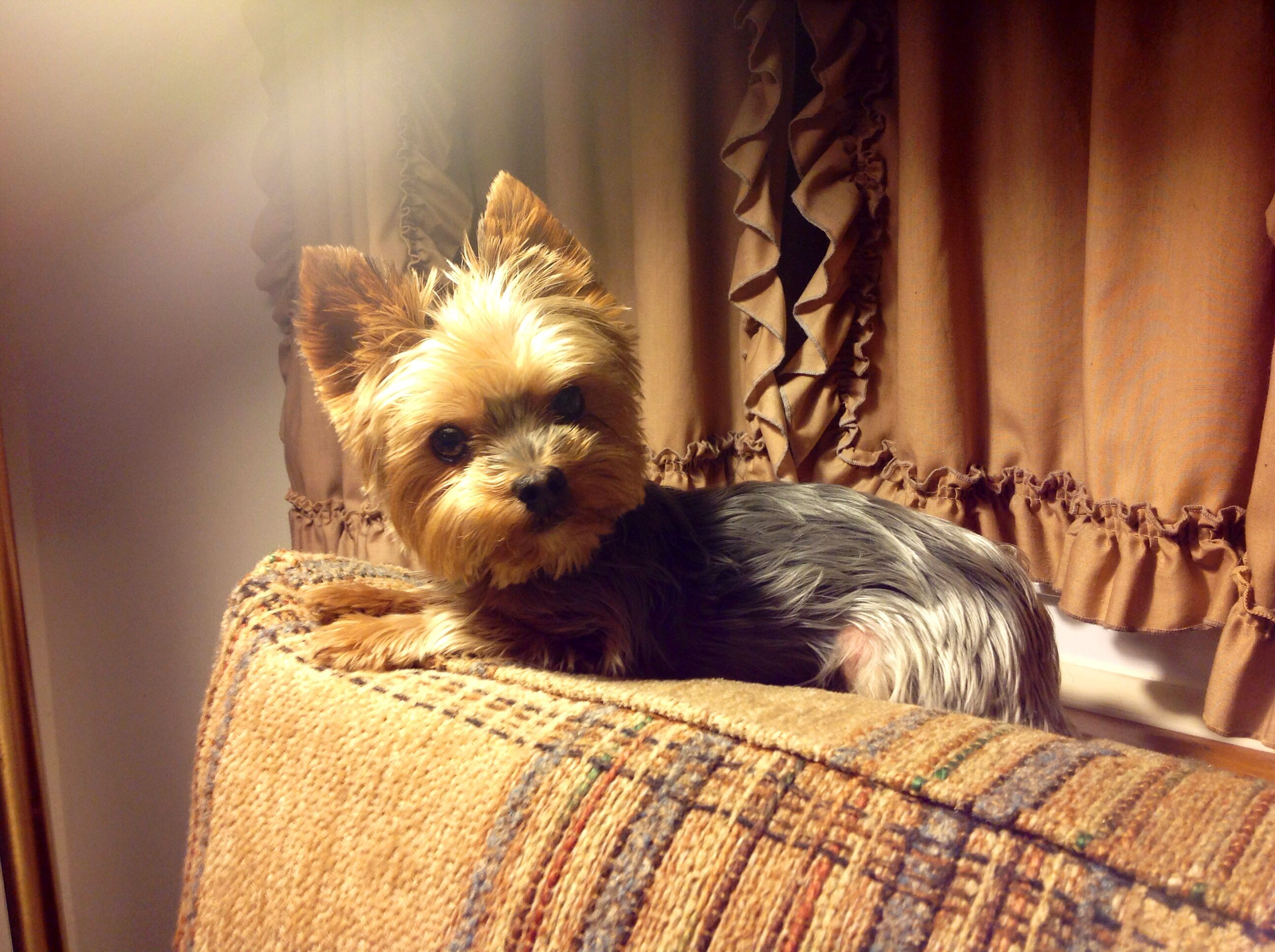 Matches grandma's couch Yorkie, Cute puppies, Yorkie dogs