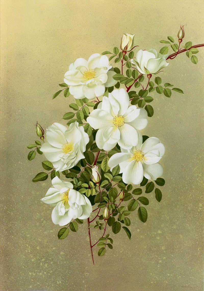 Paul Jones 19211997 ~ Australian painter is part of Antique botanical print, Botanical art, Botanical drawings, Botanical prints, Vintage botanical prints, Botanical flowers -  записи и комментарии на LiveInternet ru