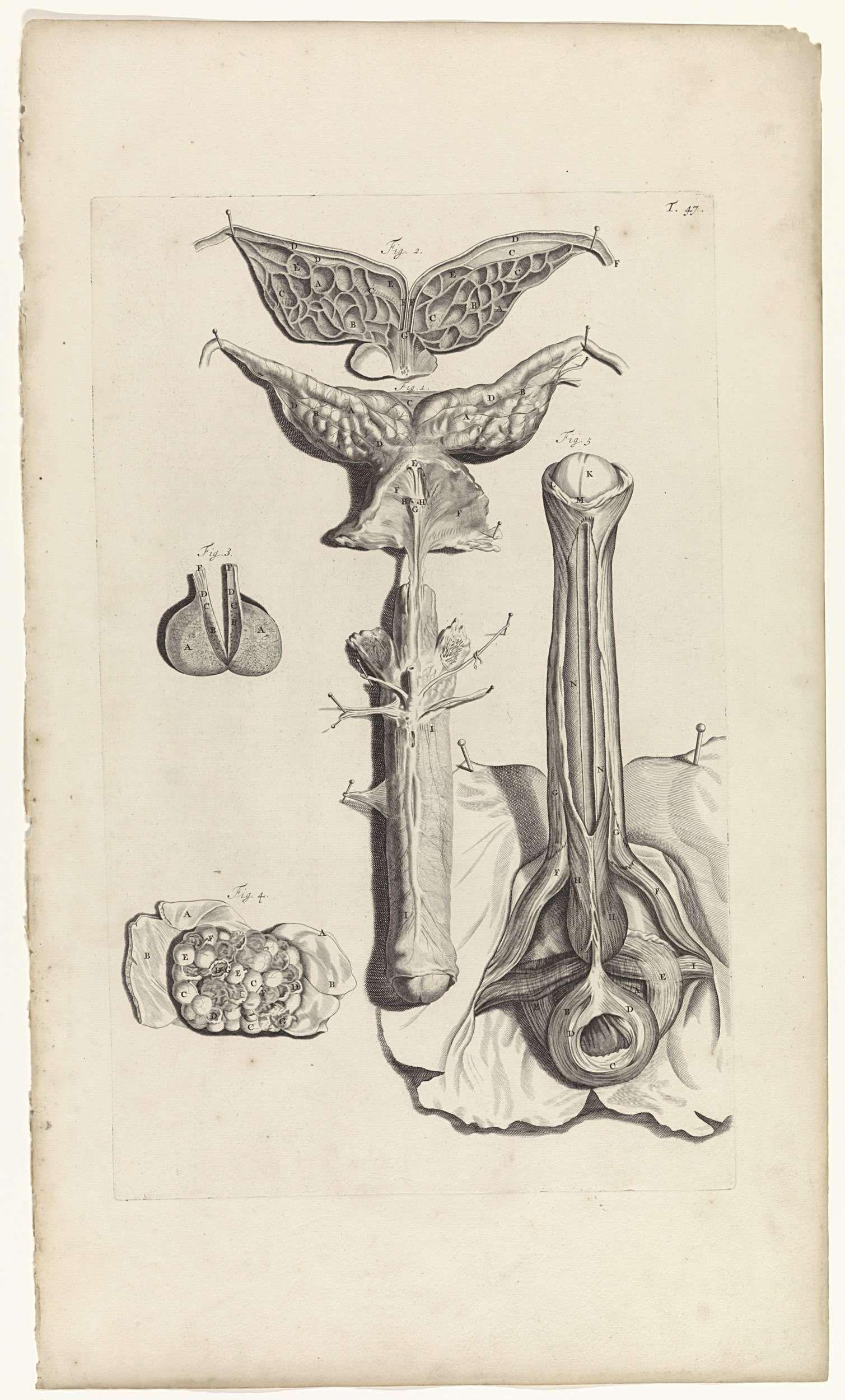 Pieter van Gunst | Anatomische studie van de penis, Pieter van Gunst ...