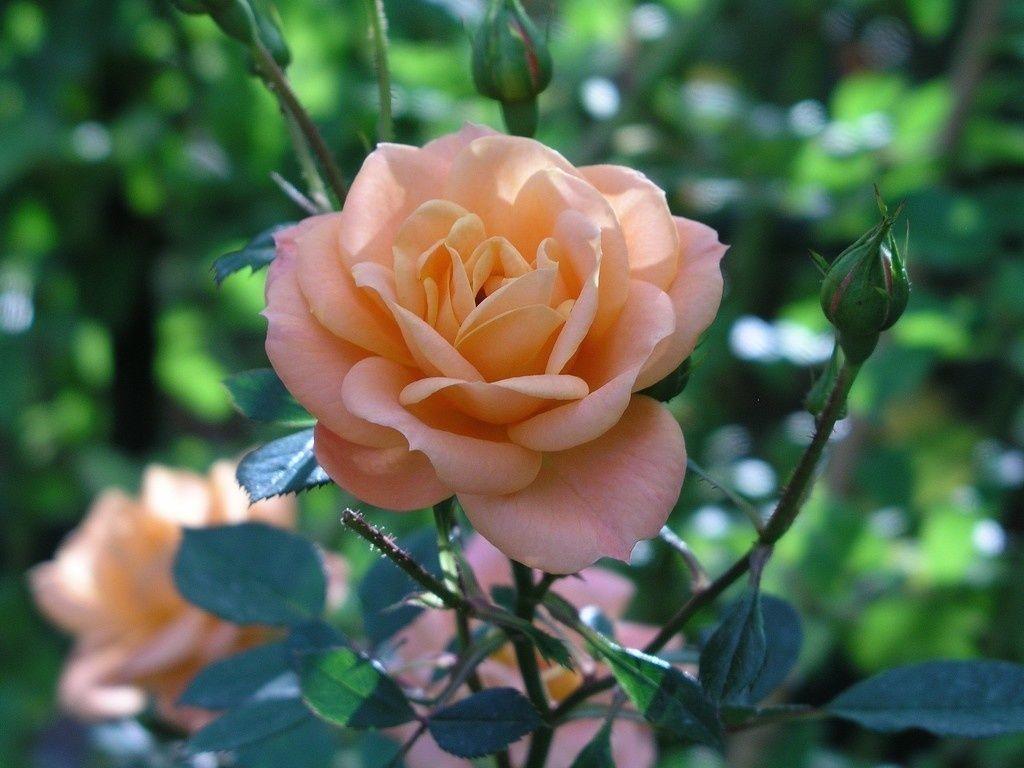Close Up Orange Flower Bloom Rose Wallpaper Flowers Wallpapers