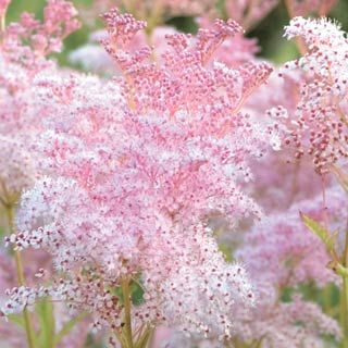 Meadowsweet feathery plumes of tiny pink flowers last for several feathery plumes of tiny pink flowers last for several weeks from mid to late summer does well at the back of a border gather into a bouquet for a light mightylinksfo