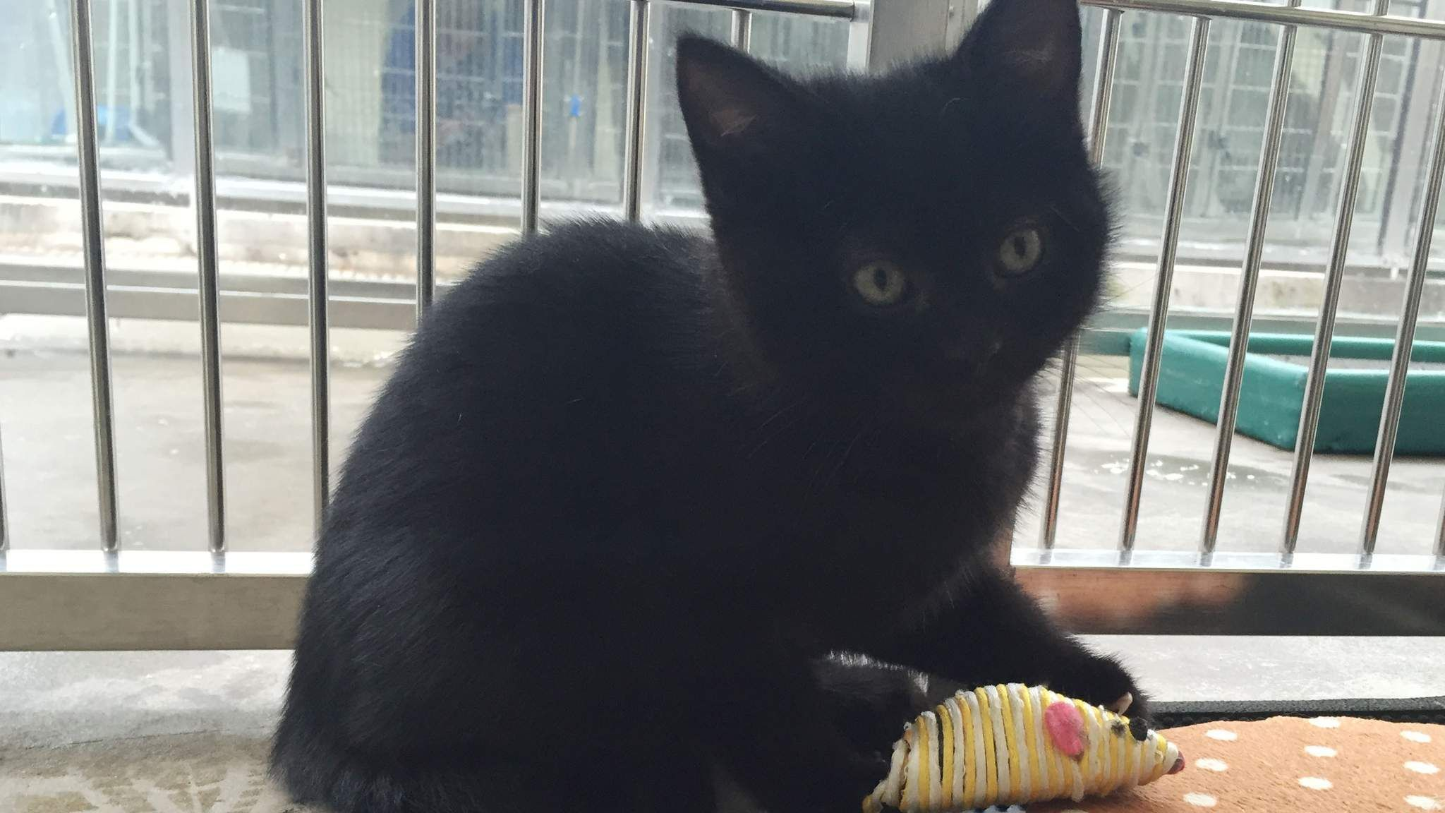 Hermaphrodite Kitten Looks For New Home Kittens, Cute