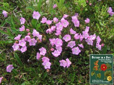 Ericaceae Heath Family Identify Plants Flowers Shrubs And Trees Identify Plant Plants Shrubs