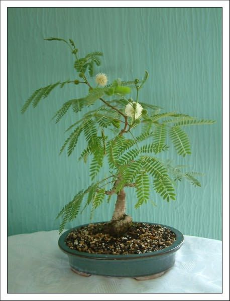 Delonix Decaryi 10 Seeds Flamboyant Poinciana Tree Very Rare Bonsai Plant Home Garden Yard Garden Outdoor Living
