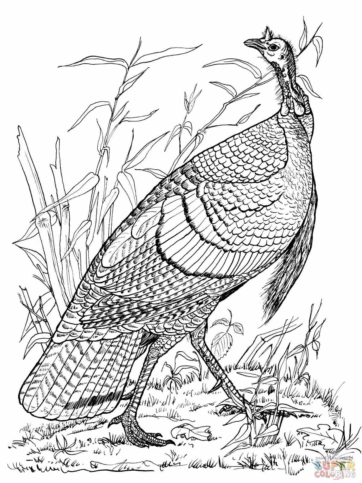 Wild Turkey Coloring Page Youngandtae Com Turkey Coloring Pages Thanksgiving Coloring Pages Animal Coloring Pages