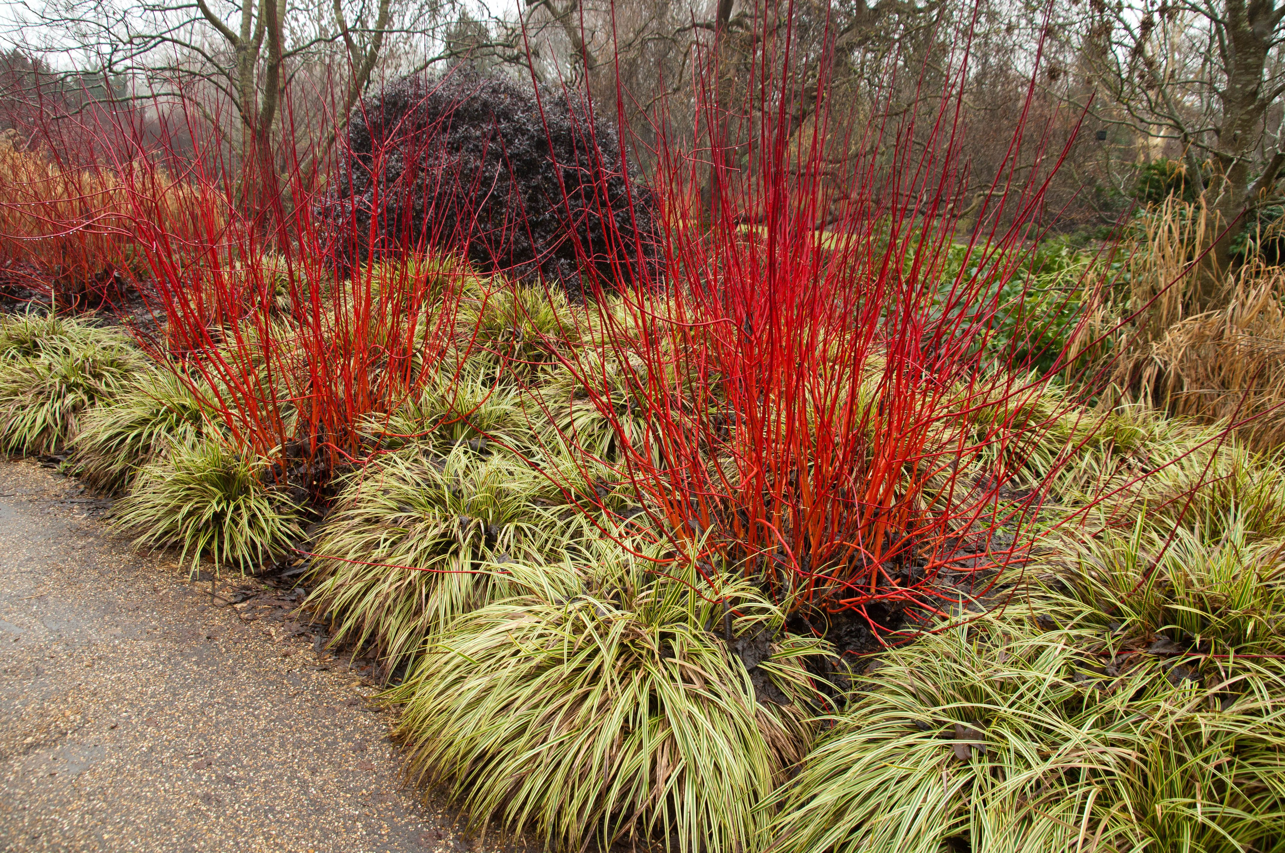 cornus alba winter fire and carex google search planting ideas