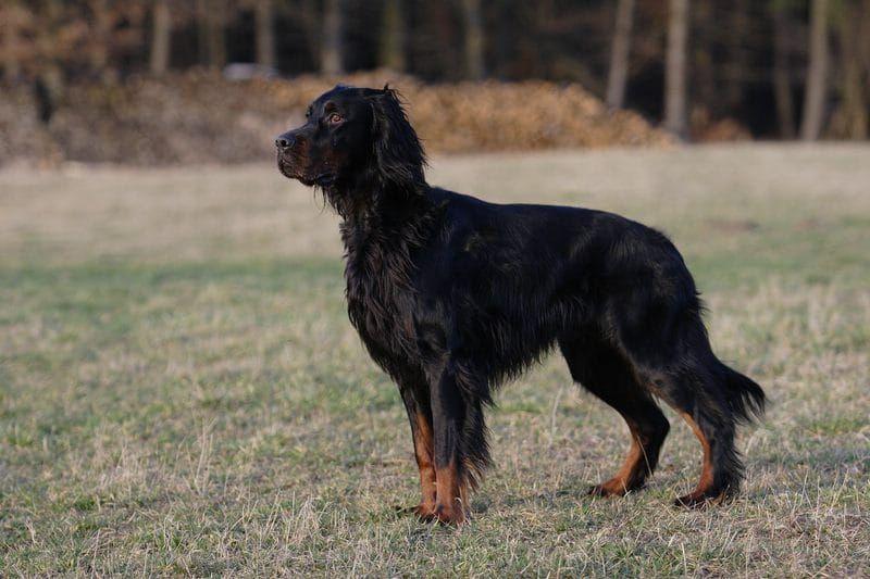 Gordon Setter Hunderassen, Hunde rassen und Jagdhunde
