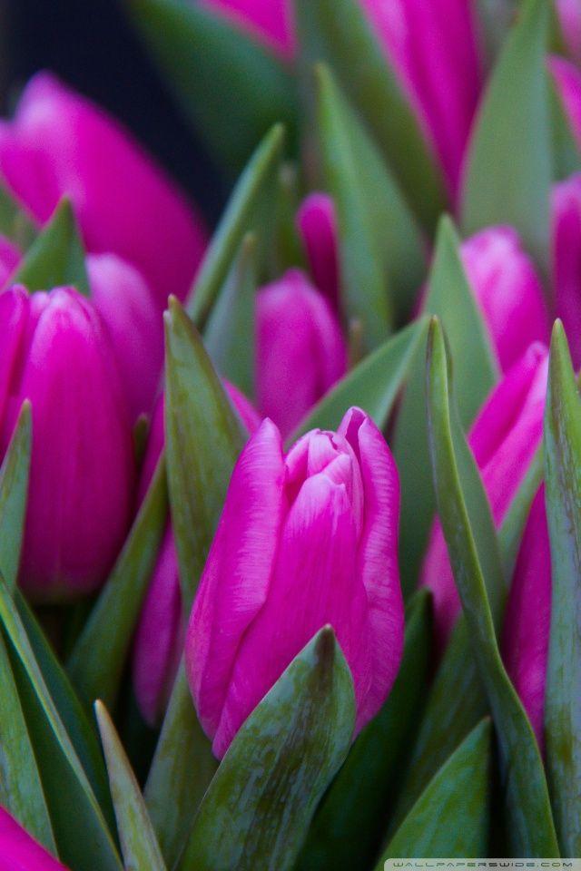 Purple Tulip Closeup Wallpaper Flower Wallpapers Free