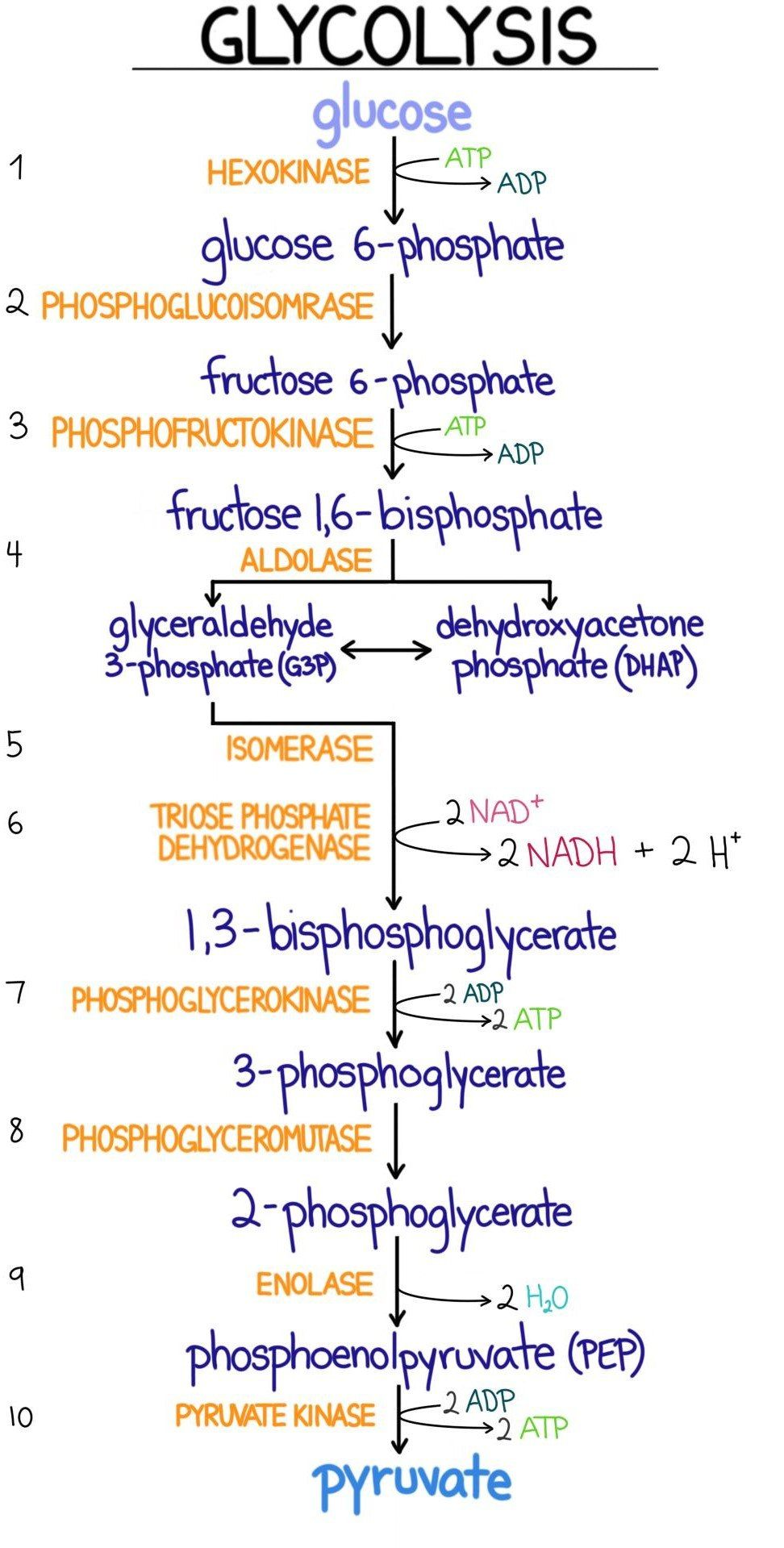 Glycolysis Introduction Pathway Diagram Summary In 2020 Biology Lessons Medical School Essentials Medical Student Study