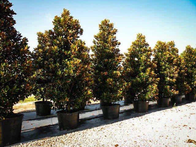 Little Gem Southern Magnolia Little Gem Magnolia Tree Magnolia Tree Landscaping Magnolia Trees