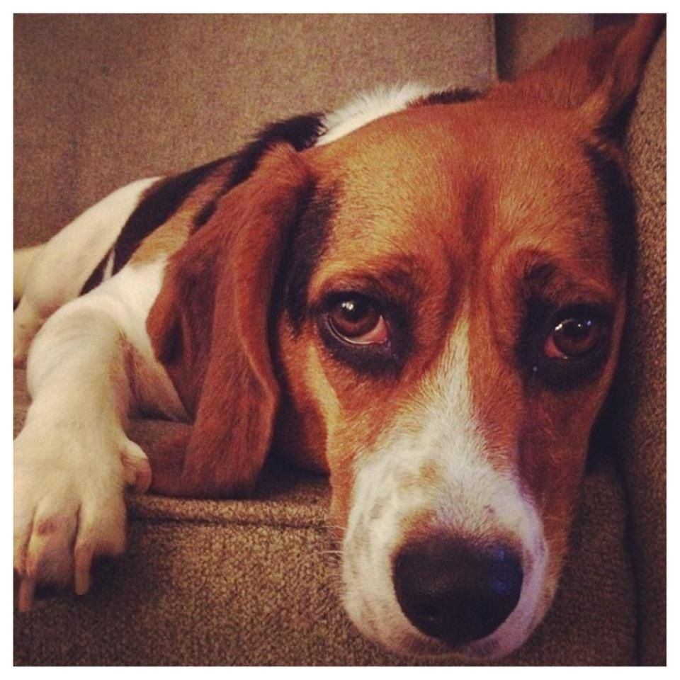 Dog photos u bios spotlight on penelope the beagle a dogus life