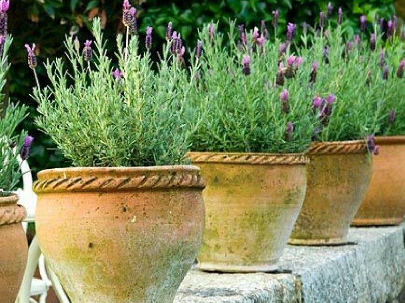 C mo cultivar y cuidar el romero plantas de lavanda - Planta lavanda cuidados ...