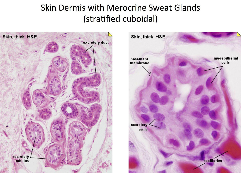 Skin Merocrine Sweat Glands Histology Integumentary System