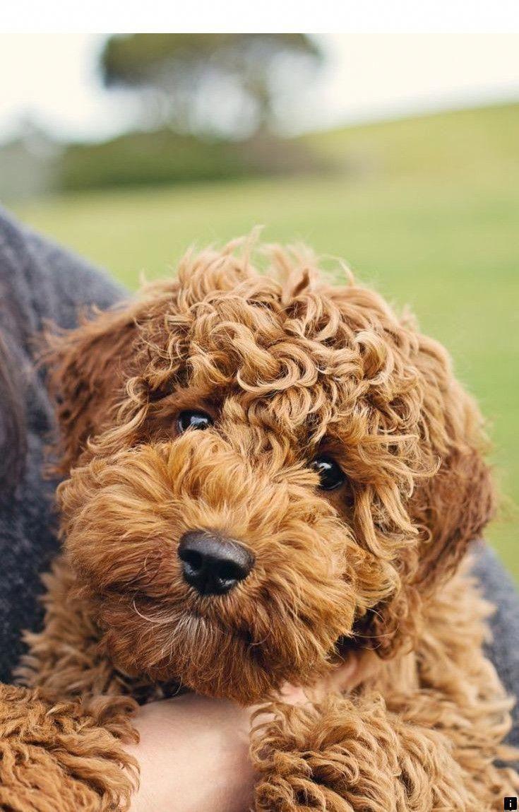 Puppy collar size labrador