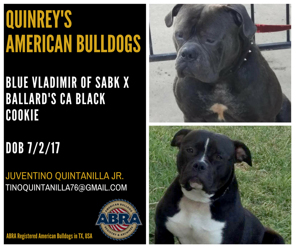 ABRA Registered American Bulldog Puppies in Fortworth