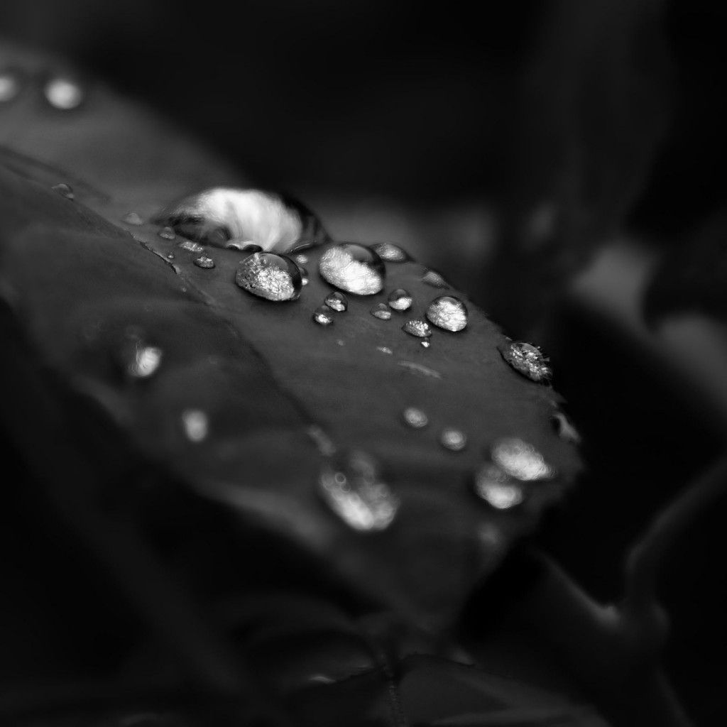 Leaves Dew Black White Photography Plant