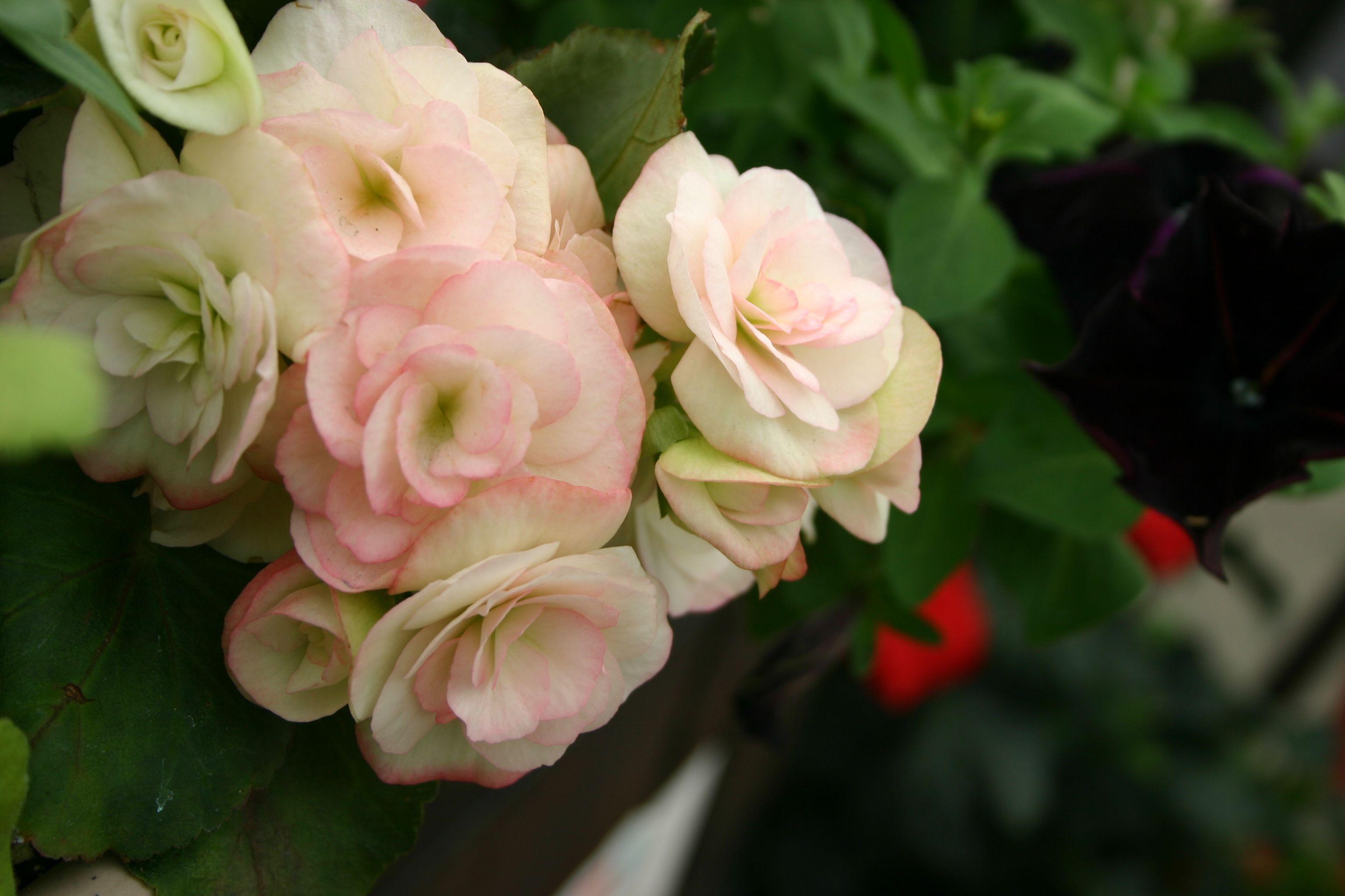 Begonias :)