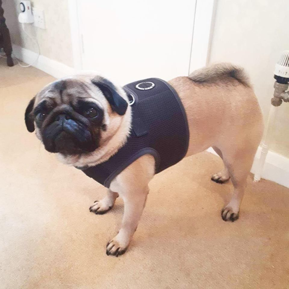 Puppia Grey Step In Jacket Harness At Www Ilovepugs Co Uk Sizes S