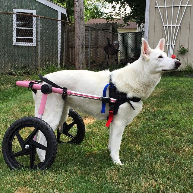 A Large Pink Walkin Wheels Dog Wheelchair For This German